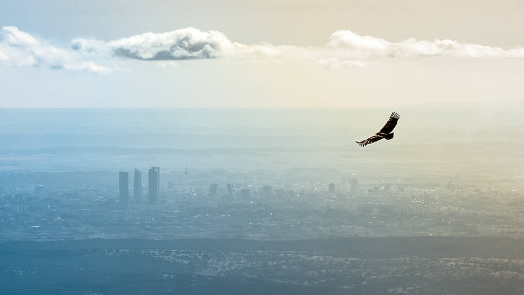 A hawk flies toward a distant city